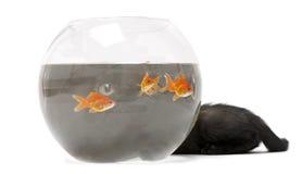 查寻黑色金鱼的小猫 免版税库存照片