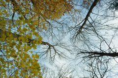 查寻,当一些发光颜色保持的多数树丢失了秋天的时叶子 免版税库存照片