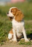 查尔斯国王西班牙猎狗 库存照片