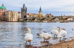 查尔斯桥梁和天鹅在布拉格 图库摄影