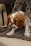 查尔斯逗人喜爱的国王西班牙猎狗 库存照片