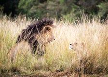 查找其他的每只狮子雌狮 免版税库存图片