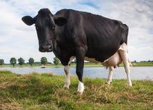 查找印象深刻的黑色的母牛好奇地 免版税库存图片