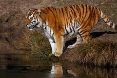 查找在西伯利亚老虎水 库存照片