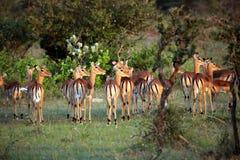 查找在距离, Serengeti的飞羚 免版税库存照片
