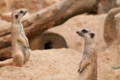 查找坐二手表的meercats将 库存图片