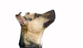 查找好奇的狗隔绝在白色 免版税库存图片