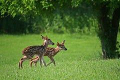 查找妈妈孪生的2只小鹿 库存图片