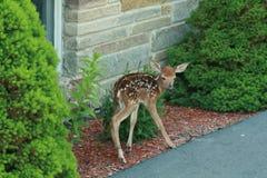 查找妈妈的小鹿 免版税图库摄影