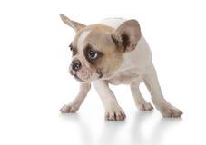 查找对白色的小狗副甜点 免版税库存照片