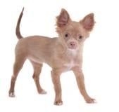查找小狗的照相机快乐的奇瓦瓦狗 免版税图库摄影