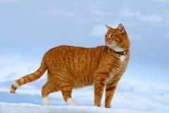 查找平纹黄色的猫 免版税库存照片