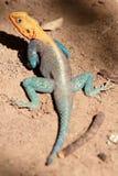 查找您的五颜六色的蜥蜴 免版税库存图片