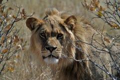 查找您的狮子 免版税库存图片