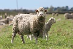 查找我的母羊 免版税库存图片