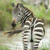 查找斑马的照相机 免版税库存图片