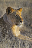 查找日落的狮子 库存图片