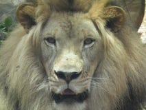 查找牺牲者的动物狮子通配 库存图片