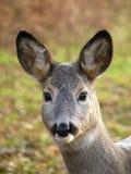 查找獐鹿 免版税库存照片