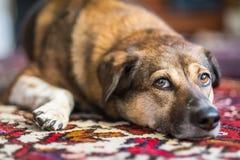 查找的狗抬眼眉 免版税库存图片