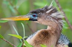 查找的美洲蛇鸟左 免版税库存图片
