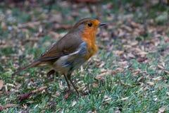 查找知更鸟的食物 免版税库存照片