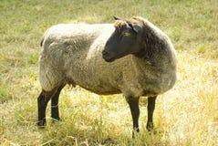 查找绵羊的左 免版税库存图片