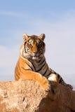 查找老虎您 库存照片