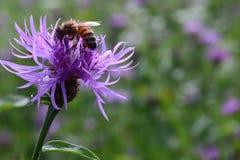 查找花蜜的蜂 库存照片