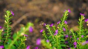查找花蜜的蜂 免版税图库摄影