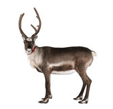 查找驯鹿侧视图的照相机 库存图片