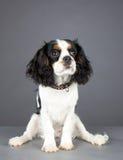查找骑士的国王查尔斯狗坐直和 库存照片
