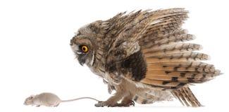 查找鼠标猫头鹰scops的欧亚混血人 免版税库存图片