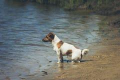 查找水的狗 库存照片