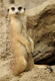 查找meerkat 免版税库存照片