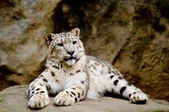 查找panthera雪uncia的前面irbis豹子 免版税库存照片