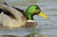 查找platyrhynchos死水的语录鸭子您 免版税库存图片