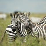 查找serengeti斑马的照相机 免版税库存图片