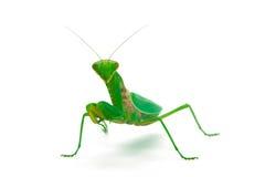查看我们的螳螂 免版税图库摄影