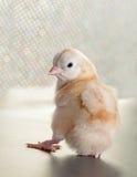 查看浏览器的小鸡 免版税库存图片