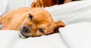 查看照相机的奇瓦瓦狗 免版税库存照片