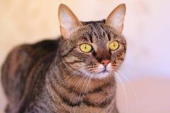 查看照相机的虎斑猫 库存图片