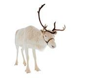 在一个空白背景前面的驯鹿 库存图片