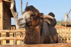 查看照相机的骆驼纵向 免版税图库摄影