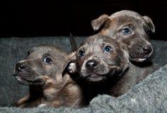 查看这些甜小狗! 免版税库存图片