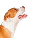 查寻为款待的美洲叭喇狗 免版税库存照片