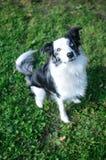 查寻入照相机的蓝色Merle博德牧羊犬 免版税库存照片