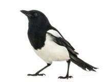 查寻共同的鹊, 12点活字12点活字,被隔绝 免版税库存照片