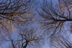 查寻在山毛榉树森林的一个低角度视图在冬天季节期间 免版税库存照片