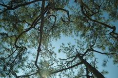 查寻在杉木顶部 库存图片